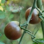 Nahaufnahme dunkler Tomaten